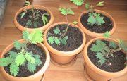 Bitkiler Canlımıdır? Deneyi- Küstüm Çiçeği