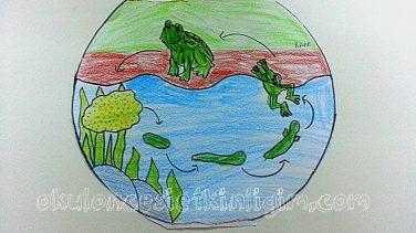 Kurbağa Oluşum Etkinliği Okul öncesi Etkinlikleri